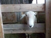 North Country Cheviot Ram