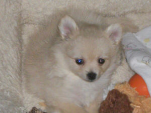 Pure breed Pomeranian puppy..Perfect present to Christmas..