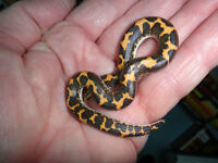 Kenyan Sand Boa Snakes and a number of terrarium / tanks
