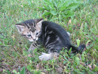 BENGAL KITTENS Two kittens available,
