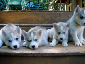 100% Siberian Husky Puppies - 1 male and 1 female