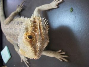 Adopt a bearded dragon - $20 fee. set up $60 Peterborough Peterborough Area image 4
