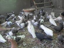 Pigeons for sale Salisbury Dungog Area Preview