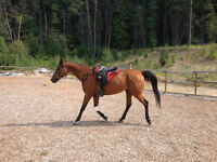 Gorgeous Arabian Gelding