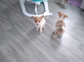 Miniature poodle cross Jack Russell