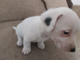 Living Jack Russell pups