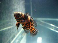 Tropical Fish (Tiger Oscars)