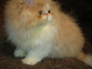 Handsome Extreme face Cream Tabby &White PERSIAN male kitten