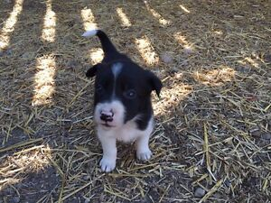 SOLD OUT Pure bred border collie puppies