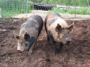 8 market / breeding ready hogs