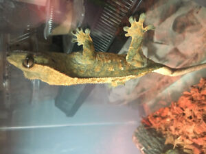 Female Crested Gecko with complete setup