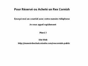 Chaton Rex Cornish*Stérilisé*Vaccins2x*Dégriffé 4 pts*etc. 780$