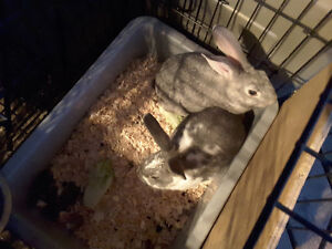 2 cute 10 week old bunnies for sale