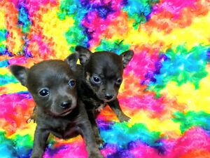 Two adorable teacup chihuahua puppies