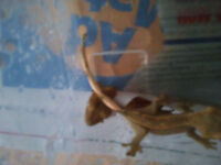 NEED GONE TODAY!!! 2 Baby Crested Geckos!!!