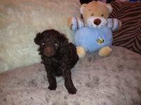 Caniche male brun miniature Poodle