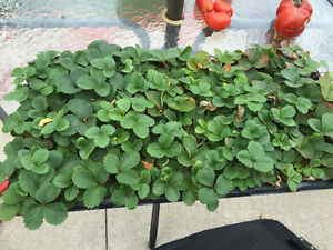 Rooted everbearing strawberry plants ready for fall planting $1