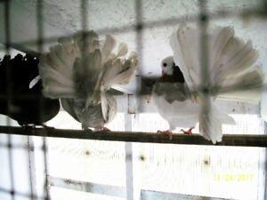 pigeons fantails, blanc, panaché, rouge, noirs. 15.00 chacun