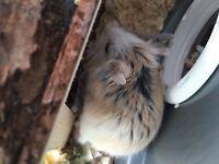 Rebovski hamster and setup.