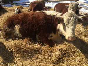 Hereford cow calf pairs