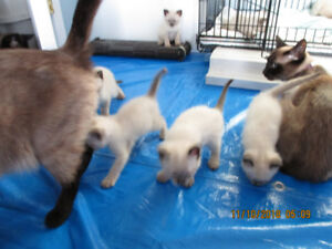 Seal Point Siamese Kittens - A