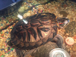 Free Red Earred Slider Turtle