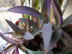 Purple Heart Plant - Indoors or Out