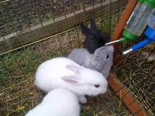 """""""Cute As"""" Baby Bunnies Mount Gambier Grant Area Preview"""