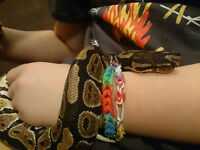 Female Ball Python looking for a new home