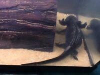 Axolotls, three, with full tank set up