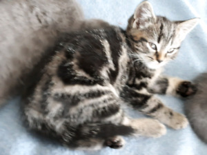 Chaton adoptez ou relogez un animal dans sherbrooke for Kijiji sherbrooke meuble a donner