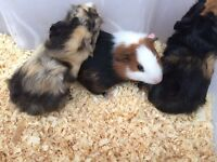 Male and female Guinea pigs