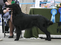 Prospective Flat Coated Retriever Litter for Approved Homes Only