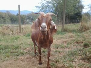 4 adult female Boer/X Goats for Sale Abbotsford
