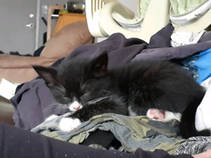 12 ish week old kitten for rehome
