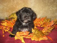 chiots morkie male