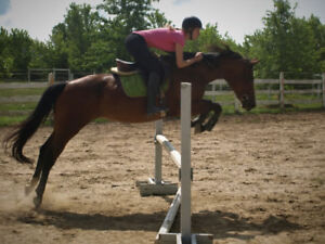 Experienced hunter/jumper/dressage mare available for part-board