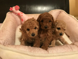 Toy poodle puppies are looking for forever loving family