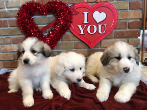 Great Pyrenees Puppies All Spoken for!