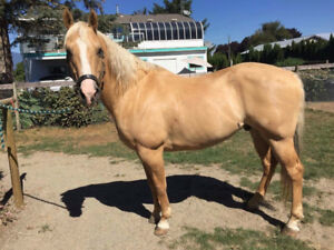 8-year-old QH Dunolino 15.2 hh