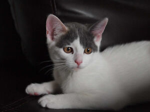 3 color short haired female kitten 5 month old (all Shots)
