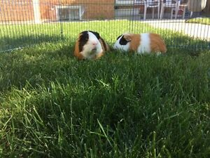 Chunky & Tiger Adorably  Cute Guinea Pig Brothers