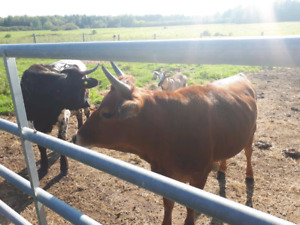 2 young cows
