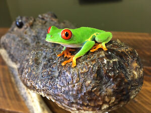CB Red Eye Tree Frogs for Sale - Tyrannosaurus Pets