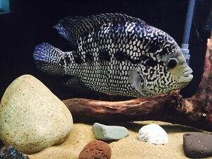Large fish for free