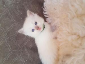 TICA registered lilac ragdoll kittens