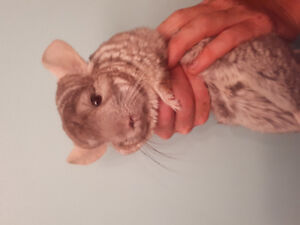 Lovely Chinchillas for Adoption