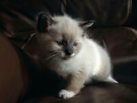 Male ragdoll cross kitten.
