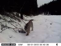 Wanted: bobcat and lynx photos