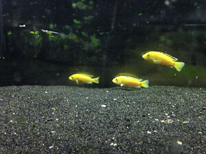 4 Electric Yellow Cichlids London Ontario image 1